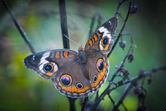 Potts Preserve Common Buckeye 07-21-2016 (Jerry's Wild Life) Tags: butterfly citrus citruscounty commonbuckeye county florida potts pottspreserve