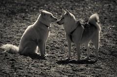Be Ready To Leave At Midnight (Katrina Wright) Tags: dog doggybeach sand beach canine play sandy dsc2969