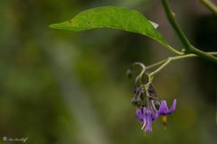 Solanum dulcamara (Makromaus_Ahrweiler) Tags: solanumdulcamara bitterssernachtschatten bittersweetnightshade solanaceae nachtschattengewchse solanales nachtschattenartige makro macro naturaufnahme nature