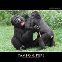TAMBO & PEPE (Matthias Besant) Tags: affe affen affenblick affenfell animal animals ape apes fell hominidae hominoidea mammal mammals menschenaffen menschenartig menschenartige monkey monkeys primat primaten saeugetier saeugetiere tier tiere trockennasenaffe primates querformat gorilla zoo zookrefeld matthiasbesant child kind jung junge play playing spielen pepe tambo rasen green grn deutschland