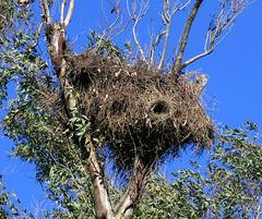 Los nidos de cotorras. (jagar41_ Juan Antonio) Tags: nidos nido aves ave cotorra animales