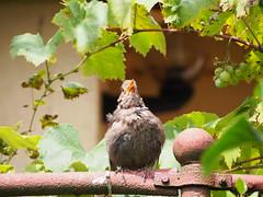 savany a szl / sour grapes (debreczeniemoke) Tags: nyr summer kert garden madr bird feketerig commonblackbird merlenoir amsel schwarzdrossel merlo mierl sturzsinguratic turdusmerula rigflk turdidae szl grapes olympusem5