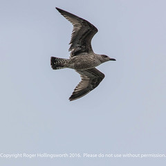 Juvenile Black Backed Seagull (doublejeopardy) Tags: mist bird thelizard cornwall gale gull places sea lizard england unitedkingdom gb