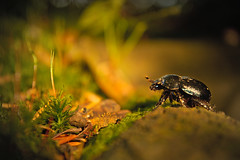 Tiny world (monika.plocica) Tags: bug beetle macro closeup animal darktable beautiful colours daylight field forest outdoor poland mountains green moss insect september nature natural nikon nikkor d7100 1855mm