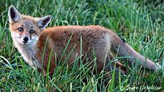 Adorable Fox (TravelsJ19) Tags: kit fox foxes joycecortilesso