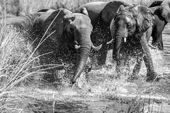 DT-131 (Photography by Brian Lauer) Tags: botswana dumatau africa safari safaris wildlife travel nikonphotography nikon lion elephant hippo fisheagle saddlebilledstork piedkingfisher lilacbreastedroller wilddog