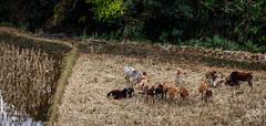 Young Zebu (JohannesLundberg) Tags: bosindicus bovinae mammalia bovidae myanmar eutheria bovini expedition theria bos burma artiodactyla bostaurusindicus domesticzebu kayah myanmarburma mm