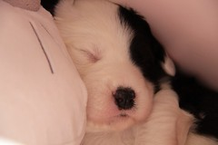 Do not disturb  HSS (lique1304) Tags: oes puppy oldenglishsheepdog pet dog hss sliderssunday canon imageuniqueoes