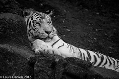_MGL7699.jpg (shutterbugdancer) Tags: photosafari fortworthzoo whitetiger