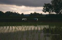 Bali, Ubud, rice fields (blauepics) Tags: indonesien indonesia indonesian indonesische bali island ubud trees bume natur landscape landschaft reisfelder rice reis fields water wasser green grn agriculture landwirtschaftclouds wolken dark dunkel contrasts kontraste farmer bauern rain regen