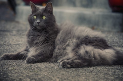 Squirrel Watch 2016 (flashfix) Tags: september212016 2016 2016inphotos nikond7000 nikon ottawa ontario canada 55mm300mm cat feline fyero ragdoll ragamuffin outside gray graycat yelloweyes fluffy backyard portrait