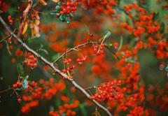 (Hijo de la Tierra.) Tags: 35mm film analog analogue red winter southern uruguay colonia memories nature detail macro bokeh blur nikkormat