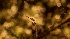 Predator (ursulamller900) Tags: libelle dragonfly bokeh golden telemegor56180