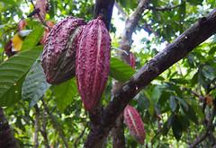 Walking amongst the cacao trees, Finca de Cacao (little_duckie) Tags: minca bonda colombia southamerica finca cacao waterfall cascada jungle