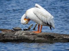 American White Pelican (Dodge Rock) Tags: americanwhitepelican whiterocklake
