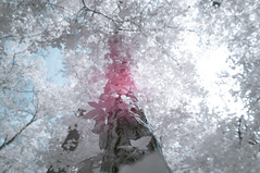 DSC02990 (FritzchensFritz) Tags: sonnenberg brandenburg deutschland infrarot infrared ir645 heliopan falschfarben false colors meseberg dlchsee