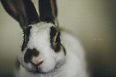 Little Love (Mayo19) Tags: rabbit babyrabbit baby little littlerabbit coelho amor conejo