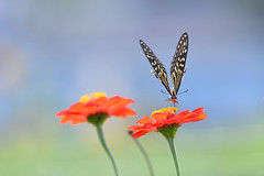 (myu-myu) Tags: nature flower zinnia insect butterfly papilioxuthus nikon d500      japan