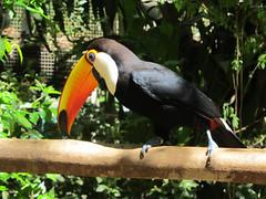 """Le Parc des Oiseaux d'Iguaçu: le plus grand des toucans, le plus beau. <a style=""""margin-left:10px; font-size:0.8em;"""" href=""""http://www.flickr.com/photos/127723101@N04/29560809251/"""" target=""""_blank"""">@flickr</a>"""