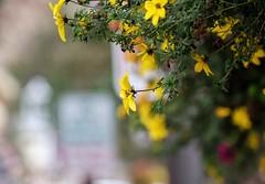 Georgetown Flowers, CO (pmenge) Tags: co georgetown flowers flores 18135 xt1