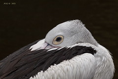 Walsrode, Weltvogelpark, Pelikan (joergpeterjunk) Tags: walsrode weltvogelpark outdoor tier vogel canoneos50d canonef100400mmf456lisusm pelikan