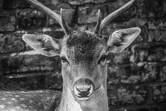 87/100x - Deer Stare (Nomis.) Tags: canon eos 700d t5i rebel canon700d canoneos700d rebelt5i canonrebelt5i monochrome mono bw blackandwhite 100x 100xthe2016edition 100x2016 image87100 deer stag animal nature sk201609190835editlr sk201609190835 lightroom closeup dunham massey park parkland wall dunhammassey dunhammasseypark wildlife antlers antler fur furry face head buck cheshire outdoor september autumn depthoffield portrait