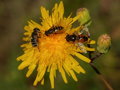 Three insect species on a single flower (annkelliott) Tags: alberta canada eofcalgary wyndhamcarselandprovincialpark nature plant flora flower flowers yellow sowthistle bud insect insects syrphidaeeristalinae three different macro closeup bokeh outdoor fall autumn 25september2016 fz200 fz2004 annkelliott anneelliott