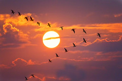 Remembering Tuonela (Bernhard Sitzwohl) Tags: goose sunrise magentadelfino sun flight birds geese v formation autumn sunlight sundisc nature morninglight gnse flug sonne sonnenaufgang morgen dawn sky himmel tuonela