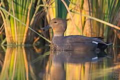 nade friso (Mareca strepera). (jolunepa) Tags: nades patos animales fotografia friso naturaleza birds