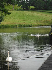 Swan Family 3 (StaircaseInTheDark) Tags: england britain greatbritain uk unitedkingdom northernengland lancashire eastlancashire pendle country countryside outdoors canal leedsliverpoolcanal animal animals birds water waterway swans cygnets