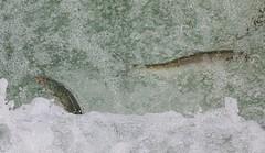 Salmon run 2 (kimbenson45) Tags: columbiariver columbiarivergorge oregon pacificnorthwest animals bubbles fish fishladder nature outdoors river salmon swimming water waterway wildlife