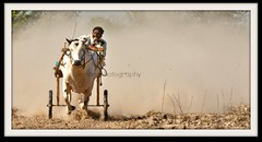 todays bull cart race , dust hi dust (TARIQ HAMEED SULEMANI) Tags: colors closeup trekking canon culture bulls sensational tariq bullrace supershot cartrace theunforgettablepictures concordians sulemani tariqhameedsulemani jahanianpeerjahanianculture