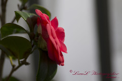 Camelia (LucaL Photographer) Tags: red copyright flower macro beautiful beauty digital photo luca nikon foto photographer digitale m f camelia 28 mm fotografia tamron 90mm fiore rosso 90 beautifull dx rosse 28f focale lerda lucal dettails dettail d3100 nikond3100 lucalphotographer lucalerda