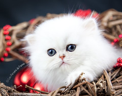 Les Persans de Fannie (Les Persans De Fannie) Tags: christmas cats pets cat persian chats kitten chat noel chinchilla animaux fannie chaton chatons persan approuvã©