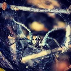 #spider #araña #animales #insectos #telaraña #patas #instafoto #amazing #cool #magic (Fernanda Sáenz) Tags: square squareformat iphoneography instagramapp xproii uploaded:by=instagram