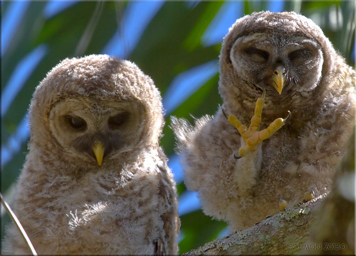Young Barred Owls