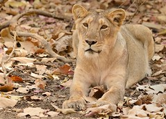 to attack or not to attack... (pranav_seth) Tags: india leo attack lion pounce gir gujrat asiaticlion pantheraleopersica sasangir saurashtra indianlion