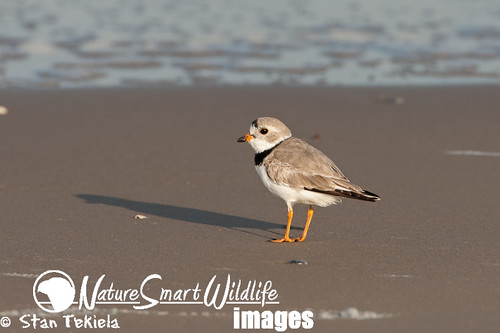 Piping Plover breeding plumage Tekiela TEK9925