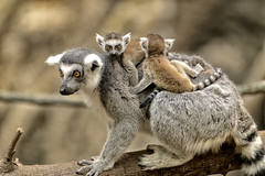 Lemur Mom and Babies (Eric Kilby) Tags: park boston mom zoo franklin twins eyes babies lemur primate ringtailed