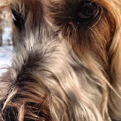 Terrier stare. (Kat & Dog) Tags: irish dog pet pets cute dogs woof animal puppy square pups puppies soft adorable canine cutie terrier smalldog bark squareformat cutiepie doggy mansbestfriend pup pooch cuties doggies doggie coated k9 wheaten cutiepatootie dogslife puppylove bigdog petlove poochie woofwoof furryfriend canines pooches softcoatedwheatenterrier bestdogever petlovers petphotography smilingdog dogoftheday softcoated doglovers doglover ilovemydog petphotos smilingdogs cutestdogever doggylove softcoatedwheaten wheatie adorableanimals petpics petlover ilovemypuppy petoftheweek irishsoftcoatedwheatenterrier petoftheday iphoneography puppyoftheday instagramapp uploaded:by=instagram pupoftheday dogdaily katanddog