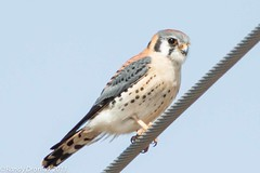 Kestrel On A Cable (rdroniuk) Tags: birds falcon falcons raptors birdsofprey americankestrel kestrel oiseaux sparrowhawk faucon falcosparverius crcerelle oiseauxdeproie crcerelledamrique