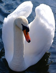 DSCF0062a (Andrew Kettell) Tags: lake cold nature water birds garden swan feathers swans magical atmospheric moorlands