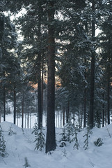 Pite (Alexandra Bratt) Tags: trees winter orange white snow cold tree green sweden s