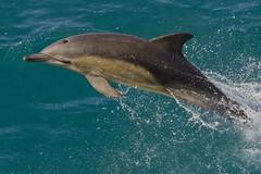 Common Dolphin (Delphinus delphis) (Ronan.McLaughlin) Tags: ocean blue ireland sea irish white nature water coast nikon marine dolphin wildlife atlantic shore maritime commondolphin d90 delphinusdelphis irishwildlife sigma150500 ronanmclaughlin