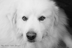 Baxter, These Moments {moments with animals} (austinsGG) Tags: family bw rescue dog baxter greatpyrenees gentlegiant thesemoments