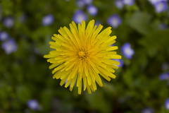 Yellow dandelion (Lalluz PJ) Tags: flowers summer flower verde green primavera grass yellow petals spring estate bokeh dandelion yellowflower erba giallo bloom fields fiori fiore petali dandelions blooming verdi tarassaco soffione prati gialli fioritura tarassachi