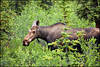 Cow Moose (GWD Photography) Tags: alaska forest canon cow woods ak moose 5d denali boreal markii 100400
