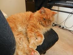 DSCN0505 comfy (drayy) Tags: orange cat ginger soft fluffy mainecoon neko ggg oreengeness thebiggestgroupwithonlycats
