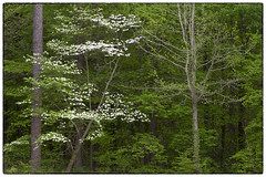 Dogwood Blossoms & Spring Greens  - Day 107 of 365 (jeanne.marie.) Tags: trees green spring pond blossoms dogwood day107 day107365 3652013 365the2013edition 17apr13