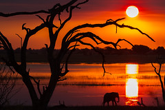 Sunset, Chobe (joe_killick) Tags: africa sunset elephant tree river landscape botswana
